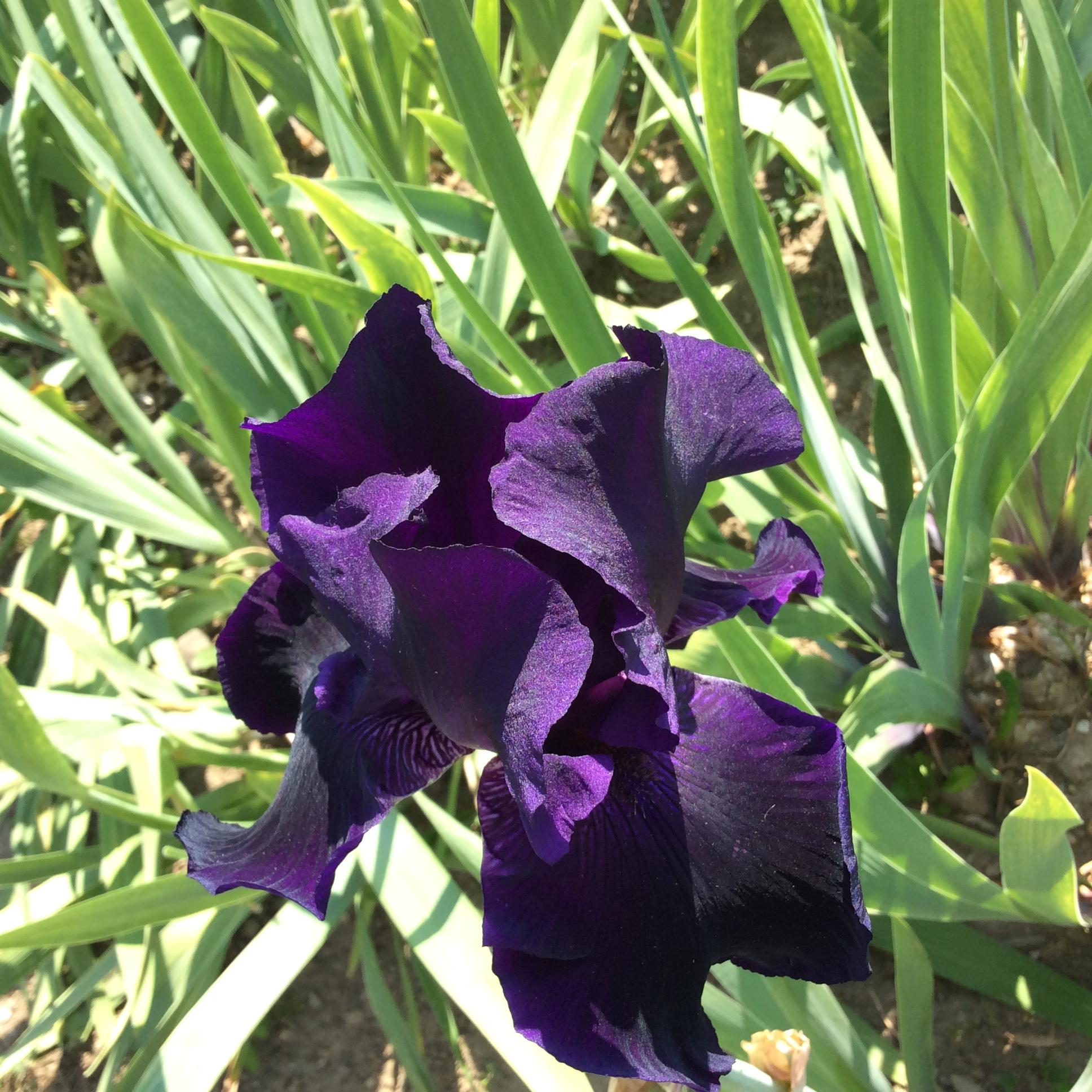 Random image: Iris